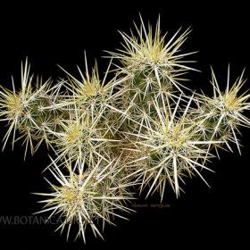 Echinocereus brandige 2