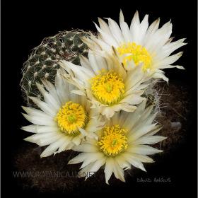 Echinocereus pulchellus ssp sharpii