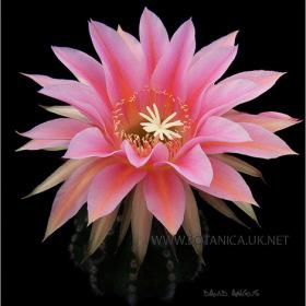 Echinopsis cv 3