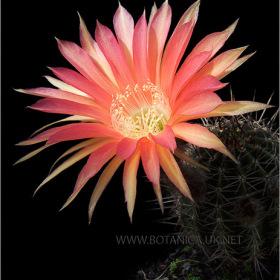 Echinopsis cv 4