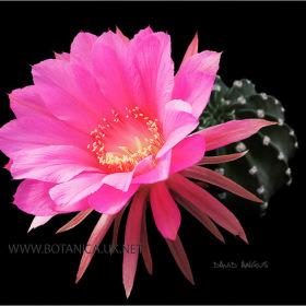Echinopsis cv Dorothy Emmiline