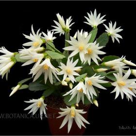 Schlumbergera cultivar
