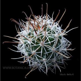 Sclerocactus sp