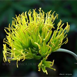 Agave-potatorum-flowers