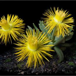 Bergeranthus-sp