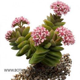 Crassula-Brides-Bouquet