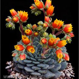 Echeveria-cultivar-2