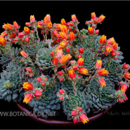 Echeveria-cultivar