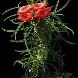 Euphorbia-gottlebei